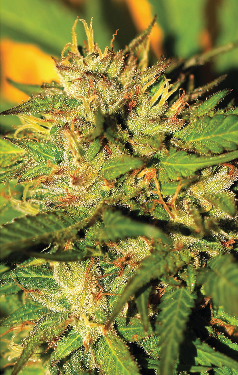 Humboldt Headband Strain Photo