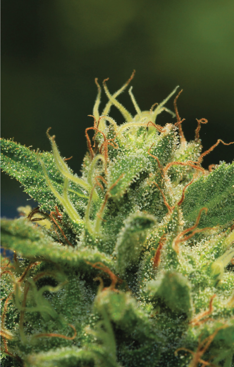 Photo of Humboldt Sour Diesel Strain