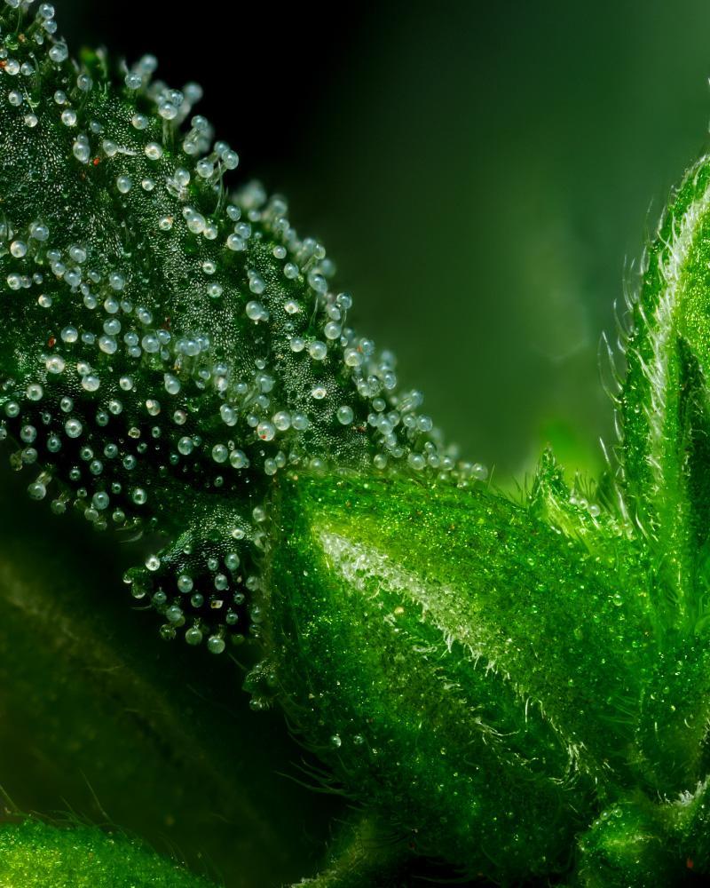 Emerald Fire OG Male Plant