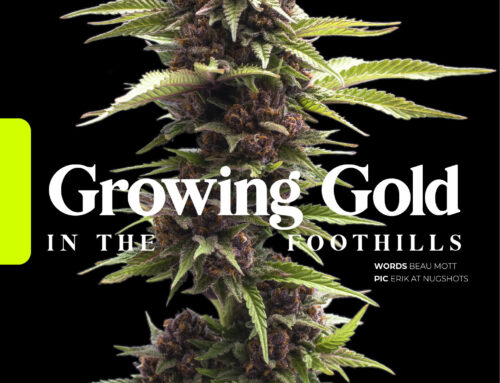 Growing Gold in the Foothills – Skunk Magazine