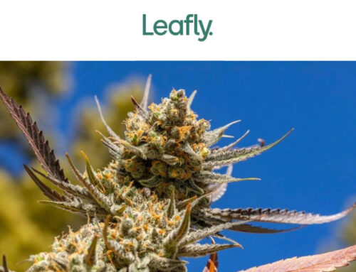 The best new cannabis strains to grow in 2021 – Leafly